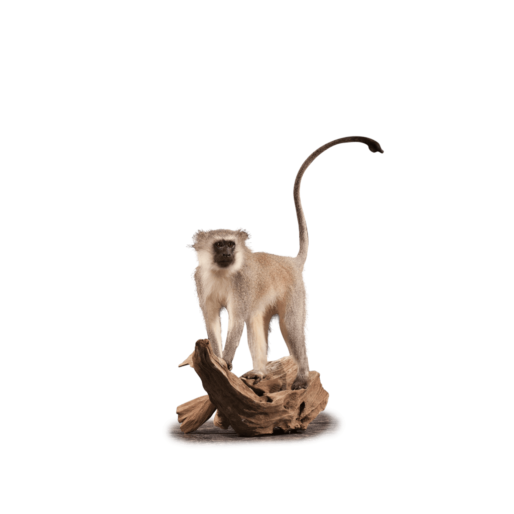 vervet monkey on branch taxidermy