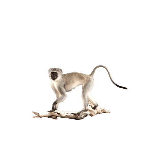 vervet monkey taxidermy
