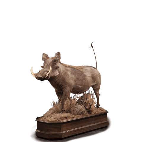 full size standing warthog taxidermy