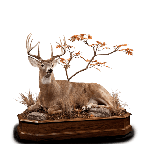 Laying down whitetail deer taxidermy
