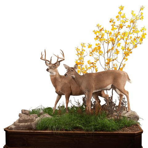 Two whitetail deer lifesize mount