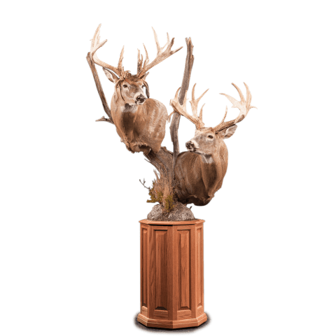 Two whitetail deer pedestal taxidermy