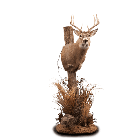 Whitetail deer pedestal mount