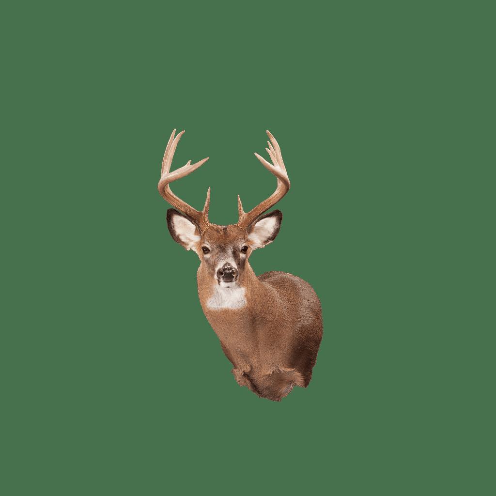 Whitetail deer shoulder mount