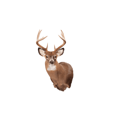 Whitetail deer shoulder mount