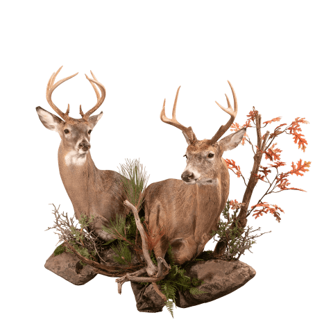 Whitetail wall pedestal taxidermy