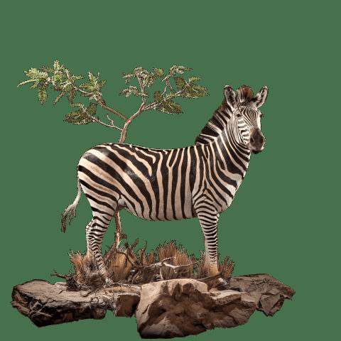 life size zebra mount