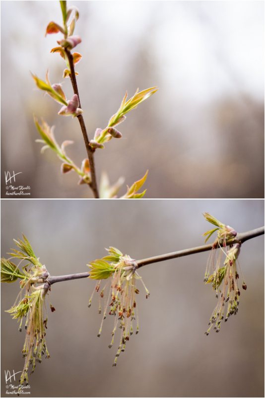 Tree Buds | Spring 2019 | Coon Rapids Minnesota