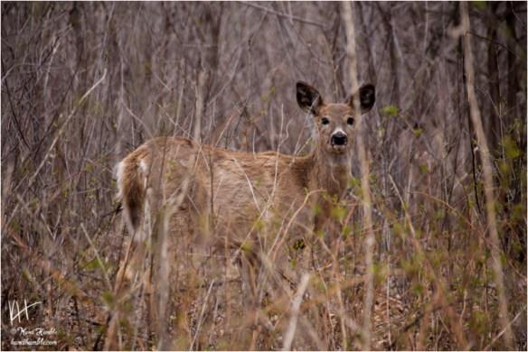 spring deer | Spring 2019 | Coon Rapids Minnesota