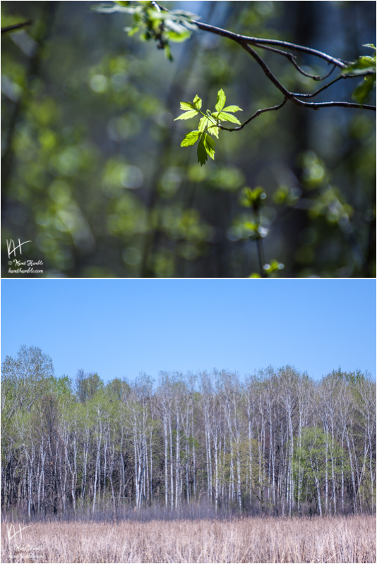 budding tree up close and a forest in the background | Spring 2019 | Coon Rapids Minnesota