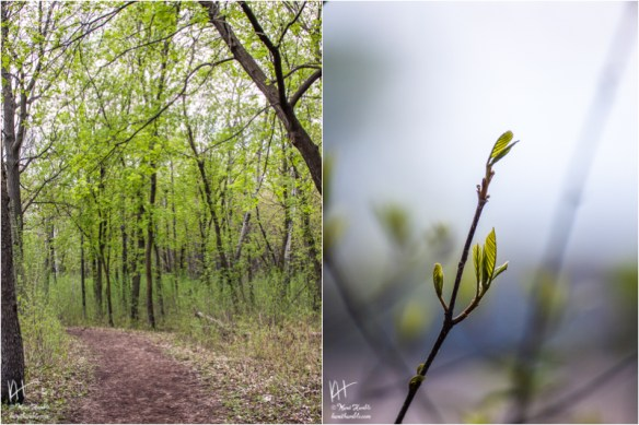 spring forest path and tree bud | Spring 2019 | Coon Rapids Minnesota