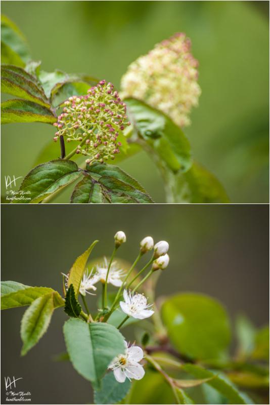 flower buds | Spring 2019 | Coon Rapids Minnesota