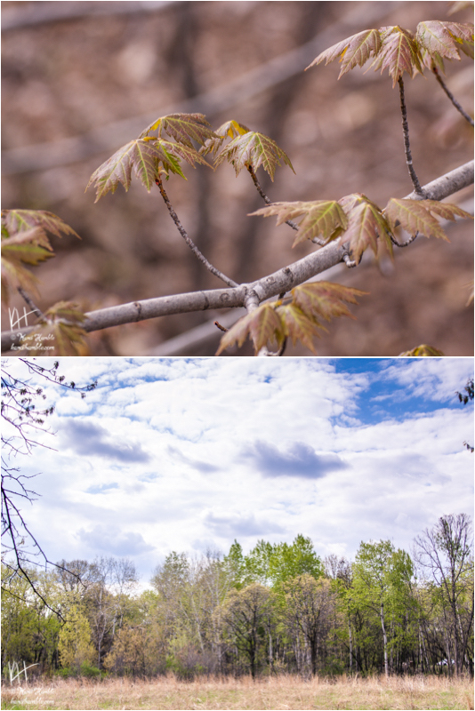 spring forest budding | Spring 2019 | Coon Rapids Minnesota