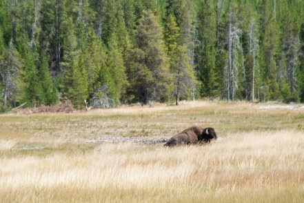 """<img=""""Bison relaxing in the grass"""">"""