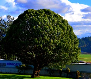 "img=""mytlewood tree"""