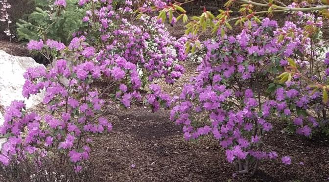 Rhododendrons in Utah