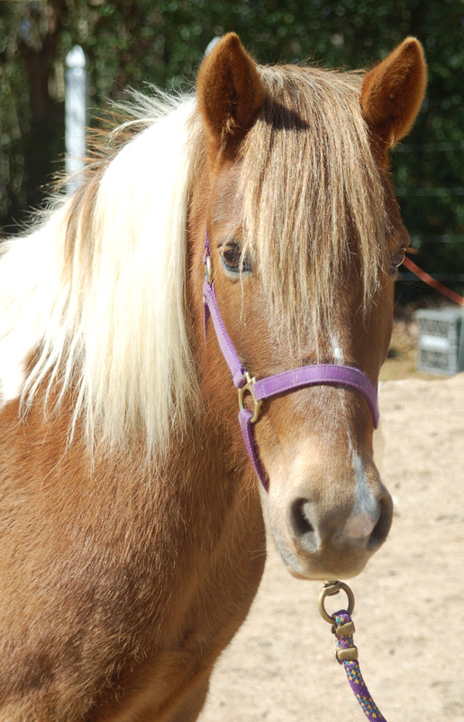 A flashy midsized girl who is a little faster than Spirit, Sassy is a great pony for the more experienced rider. She loves to show off her moves in the arena with a confident kid aboard.