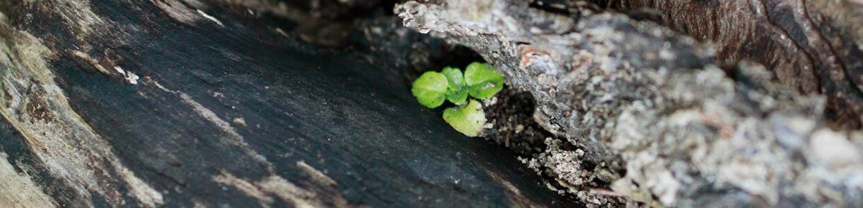 Eine Pflanzenkeimling wächst aus einer Spalte aus verbranntem Holz