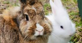 Unterschied zwischen Hase und Kaninchen