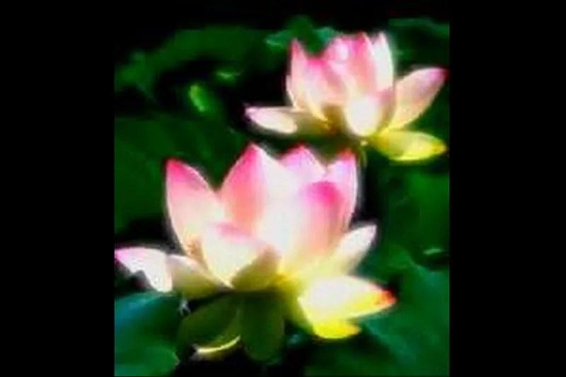 蓮の花(瑞鳳天祥様)