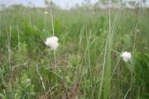 釧路湿原のワタスゲ