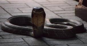 cobra_snake_nagpanchami
