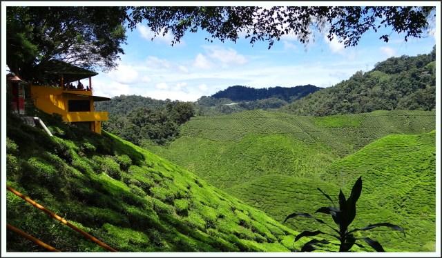 Tea Estate Tee-Plantage tea Tee