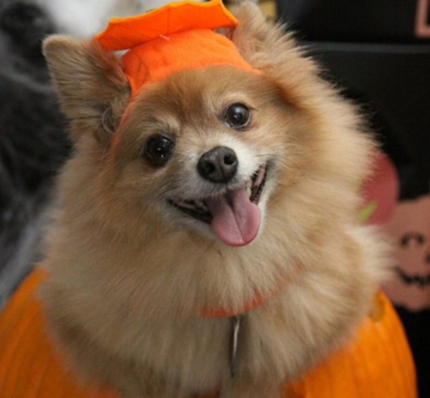 Lee's Summit Boos, Barks & Badges Halloween Parade - Pomeranian in a pumpkin costume