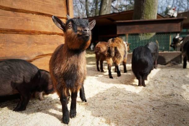 Deanna Rose Children's Farmstead - baby goats