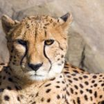Cheetah Enrichment at the Kansas City Zoo