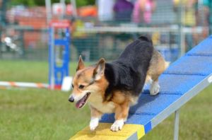 Kansas City dog parks - Corgi walking down an agility ramp