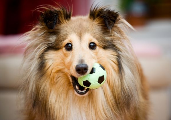 Dog parks in KC - collie dog holding a ball in its mouth