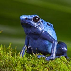 KC Zoo - Blue Poison Dart Frog