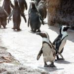 Special Experience: Penguin Marches at the Kansas City Zoo