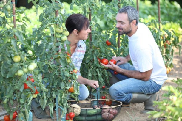 Kansas City u-pick produce - couple picking tomatoes