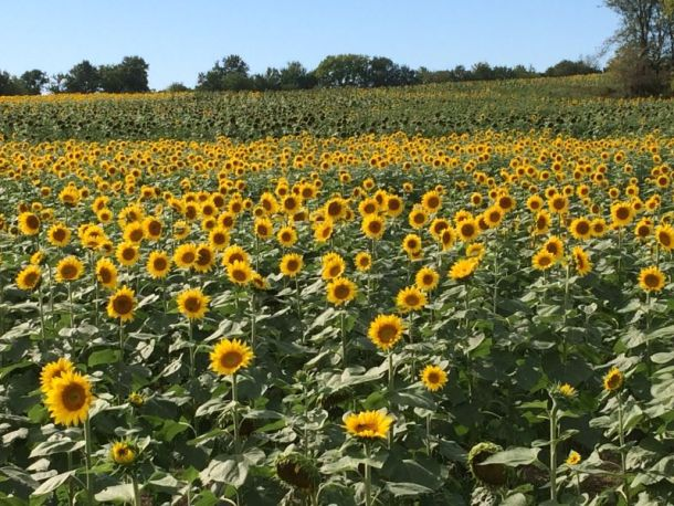 Kansas City u-pick farms - sunflower field