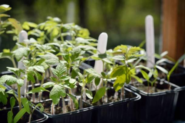 City Market Farmers Market - image of tomato plant seedlings
