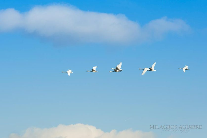 Cisnes-en-handanuma_014