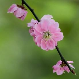 """Flor de durazno"" Parque Igashira, Mooka shi, Tochigi. Fotografía: Víctor Gusukuma"
