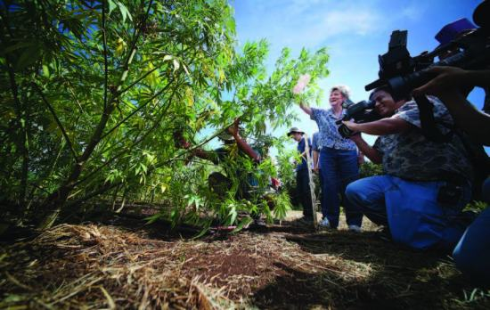 Rep. Cynthia Thielen takes part in the first harvest of industrial hemp at the University of Hawai'i's research plot in Waimanalo last summer – courtesy of Cory Lum
