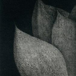Haworthia・ハオルチア Mezzotint・Aquatint・Gampi-Paper(Mino) メゾチント・アクアチント・雁皮刷り・美濃和紙 image size H9.7cmxW5.9cm ed.30 2010