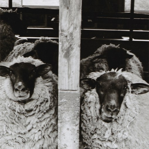 SheepGelatin Silver hand print 19.5x13cm