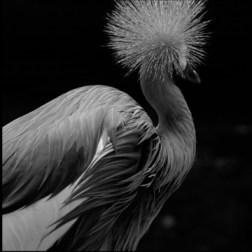 Grey crouned craneDigital