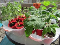 conditioning the tomato plants to plant out in about 2 weeks