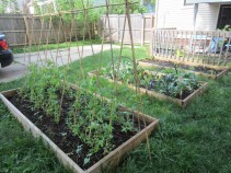 Beans, peas & brassica bed