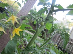 First tomatos!
