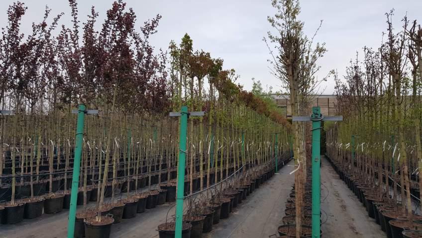 Grupa Kapias drzewa w pojemikach
