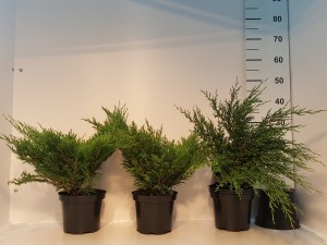Grupa Kapias Juniperus Andorra Compact