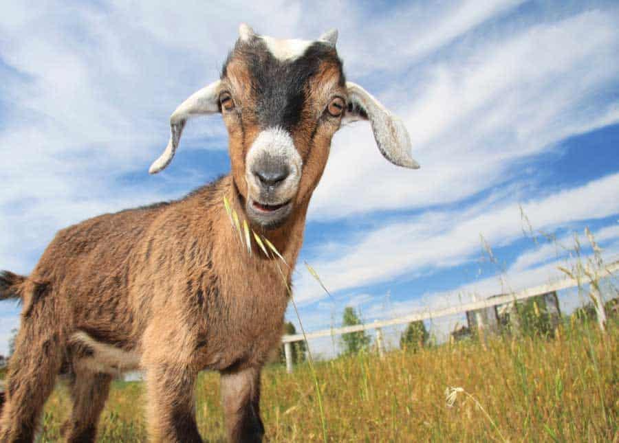 Grt-JF10-goats-kid-i