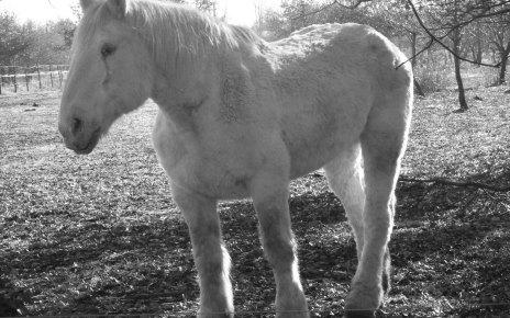 balts zirgs